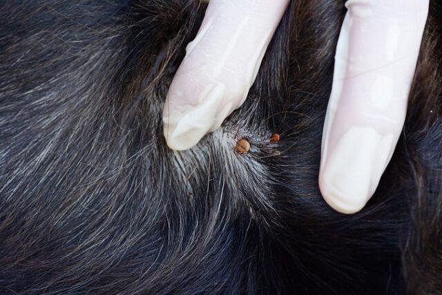Apprenez à éliminer les parasites sans agresser la peau ou le pelage de votre chien